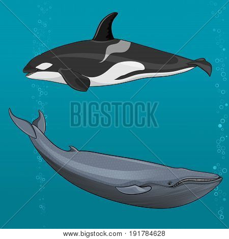 Vector illustration of Blue whale and killer whale isolated on white background
