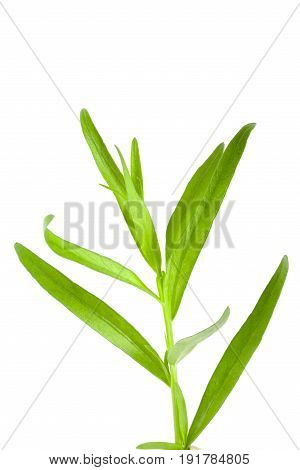 Sprig of tarragon isolated on a white background. Artemisia dracunculus.