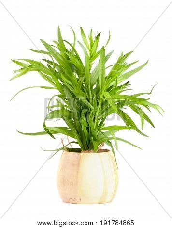 tarragon in a wooden bowl isolated on a white background. Artemisia dracunculus.