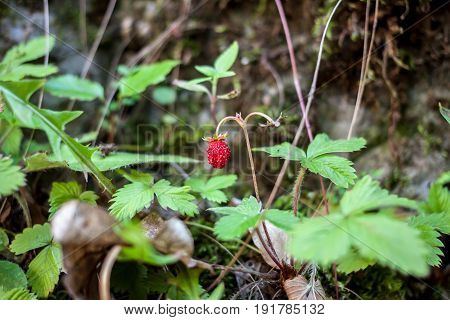 red small wild strawberry growing on the wall desire to live