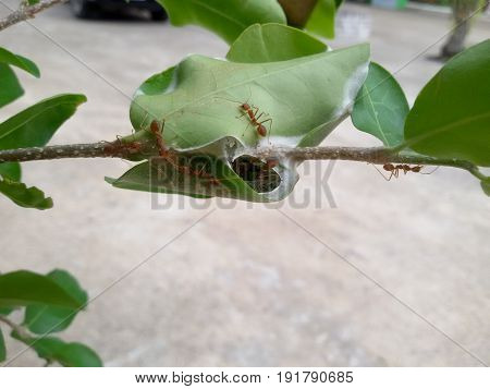 Red ants work as a team to build their nest on tree. Red ants teamwork in green nature or in the garden for keep egg ants.
