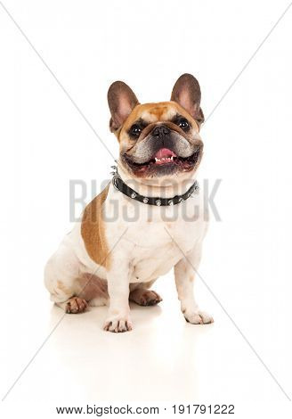 Portrait in Studio of a cute bulldog isolated on a white background