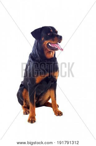 Adult Rottweiler dog isolated on a white background