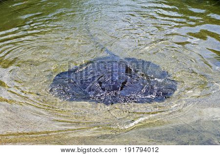 Giant Freshwater Stingray  - Northern Territory Australia