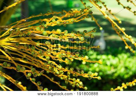 Unripe green and yellow dates in a cluster on a palm tree branch golden sunlight green foliage in background Spain mediterranean