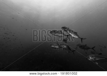 Bigeye Trevally In Black And White