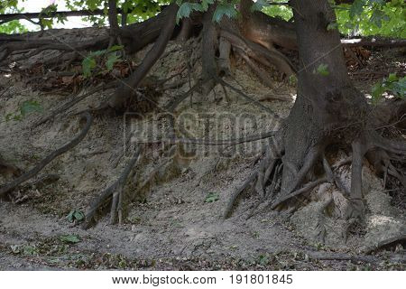 The vast roots of trees descend down the slope. Earth background