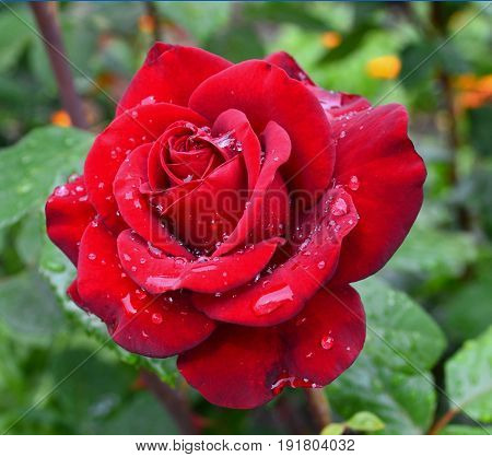 Red rose with water drops on petals in a garden