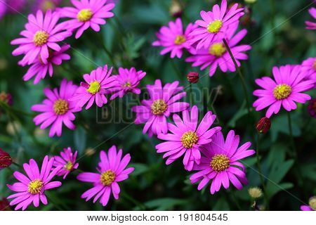 Small daisy flowers in violet purple color