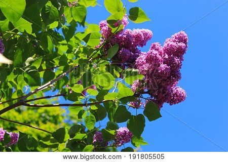 The lilac Bush on sky background. Spring flowers background - spring lilacs flowers in spring blossom against blue sky. Lilac Bush pictures. A bouquet of lilacs. Flowers bright cluster