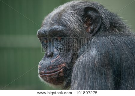 Chimpanzee Portrait Close Up At Open Resort
