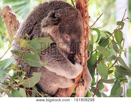 Really cute koala bear curled up and relaxing in a tree.