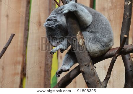 Koala bear with his toes curled while he is sitting in a tree.