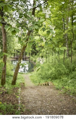Beautiful branches of blossoming white bird cherry (prunus padus) in the park on the background of the old cobbled road steps and lake.