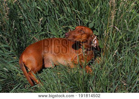 Brown dachshund lies in the green grass