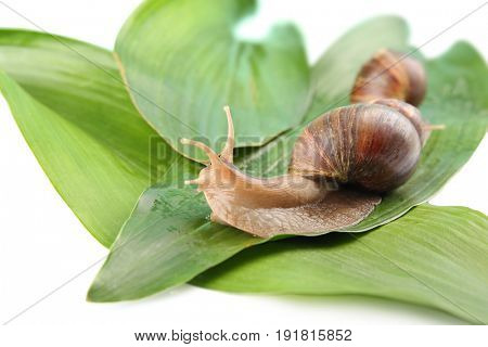 Giant Achatina snail and green leaves on white background