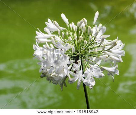 A white lily of the Nile alone a creek