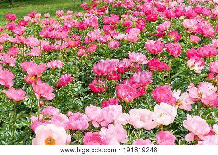 Blooming pink peony flowers in park garden.