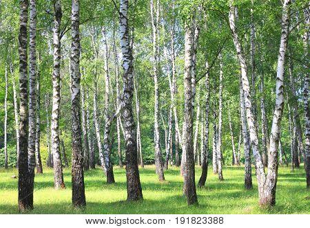 White birch trees with beautiful birch bark in a birch grove