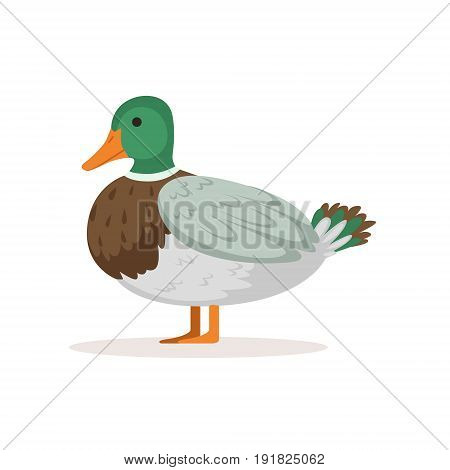Domestic duck, poultry breeding vector Illustration isolated on a white background