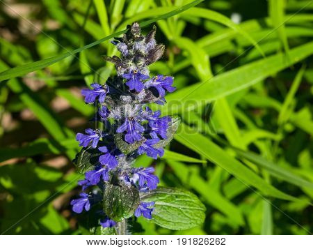 Bugleherb or bugleweed Ajuga reptans blossom with bokeh background close-up selective focus shallow DOF.