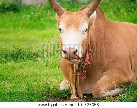 Young Fighting Bull Relax And Ruminant.