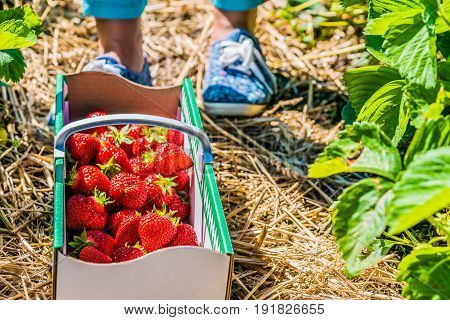 Women standing in front of carton box filled with fresh organic strawberry on the ground.