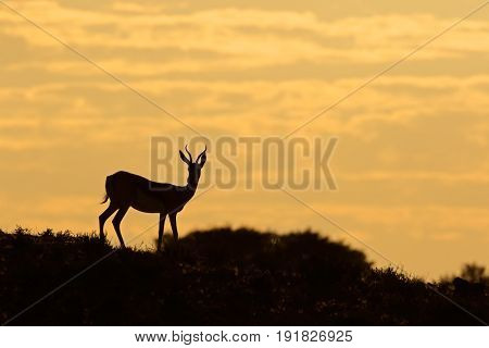 Springbok antelope (Antidorcas marsupialis) silhouetted against a sunrise, Kalahari desert, South Africa