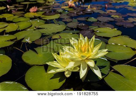 Yellow water Lily floating among pads in still water with a slight blue sky reflection