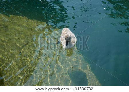 a cute duckling swim on blue  lake