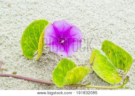 Purple Flower of morning-glory on white sand - background texture with one flower macro