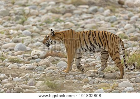 A tigress walking across the river bed, in search of prey poster