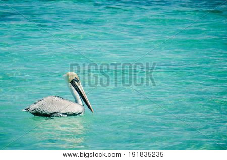 Pelican swimming on the caribbean sea at Cancun