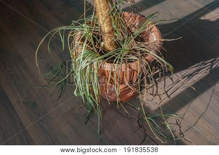 Dry Potted House Potted Plant