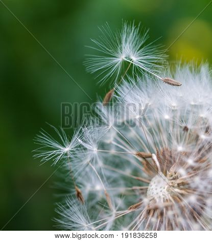 Closeup of dandelion seeds on natural background