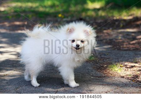 The small Pomeranian Spitz stands on asphalt