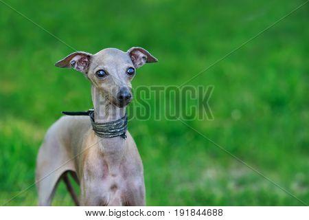 Portrait of italian greyhound on green lawn