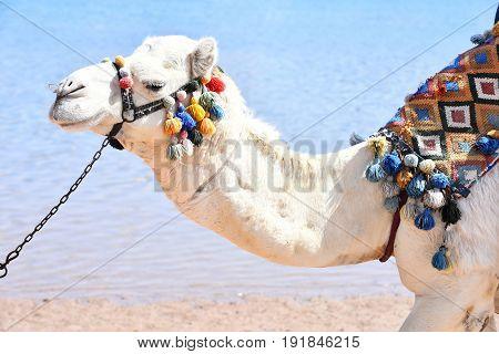Arabian Camel Animal