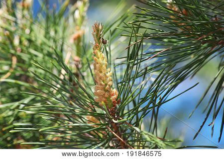 Pine kidney. Kidney coniferous tree close-up macro.