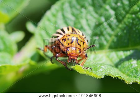 Colorado potato beetle bug on leafs of potato