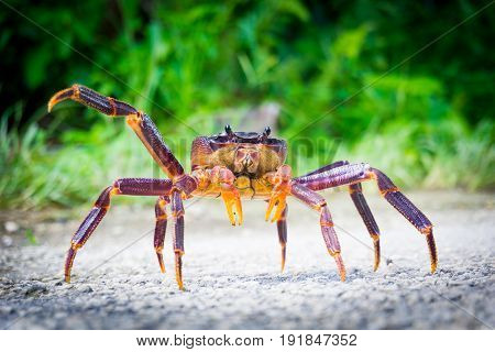 Coconut crab crossing road in threatening pose South Pacific Island Niue.