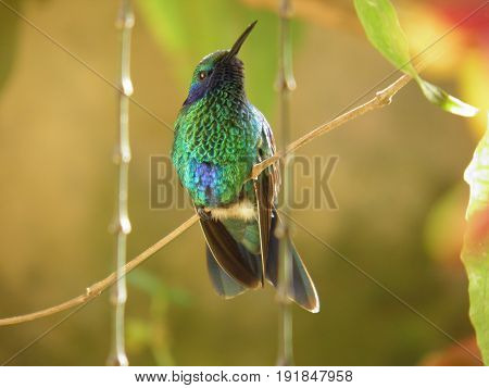 Hummingbird, Colibrí posando en una rama. San Jose de los Altos Venezuela