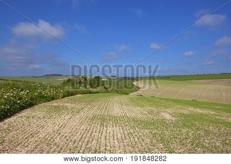 Hedgerow And Pea Field