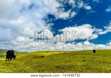 View on Yak goup in the tibetan highlands