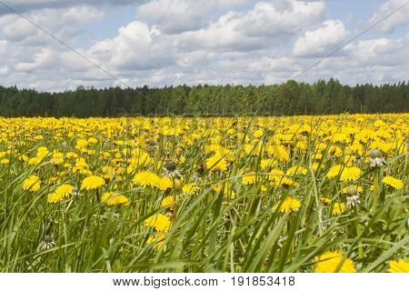 field with many flowering yellow dandelions summer landscape