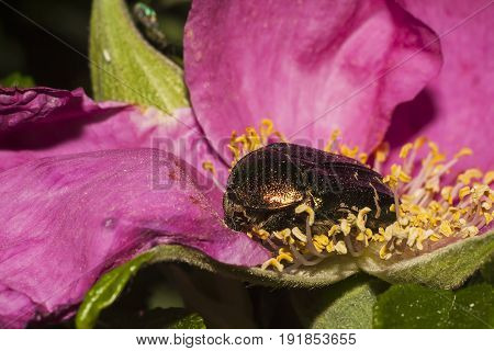 shot of the beetle on flower of dogrose closeup