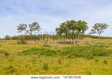 Farm With Cork Tree Forest And Flowers In Vale Seco, Santiago Do Cacem