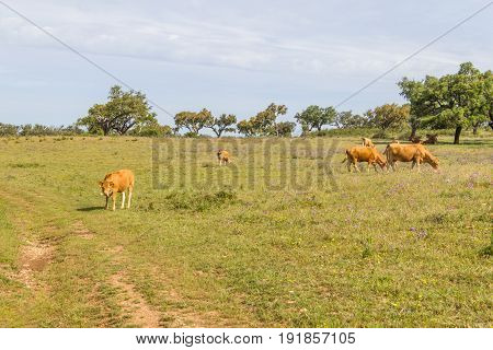 Farm house with cow Cork tree forest and flowers in Vale Seco Santiago do Cacem Alentejo Portugal