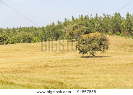 Farm Field With   Trees In Vale Seco, Santiago Do Cacem