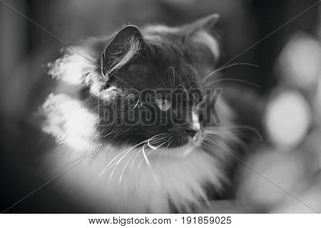 Black-and-white portrait of a fluffy cat of a smoky color